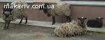 продам вівці