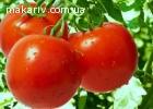 Продаж помідорів