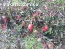 Яблука (зимові)