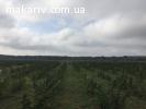 Збір врожаю органічної малини